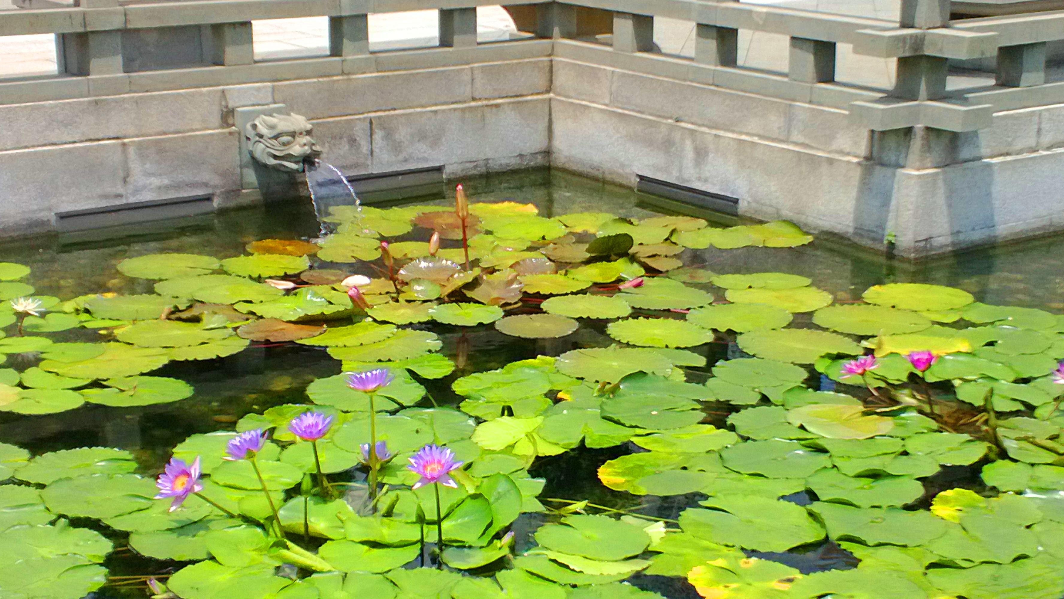 Chi-Lin-Nunnery-lotus-flower
