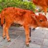 Calf at Ngong Ping Lantau Island