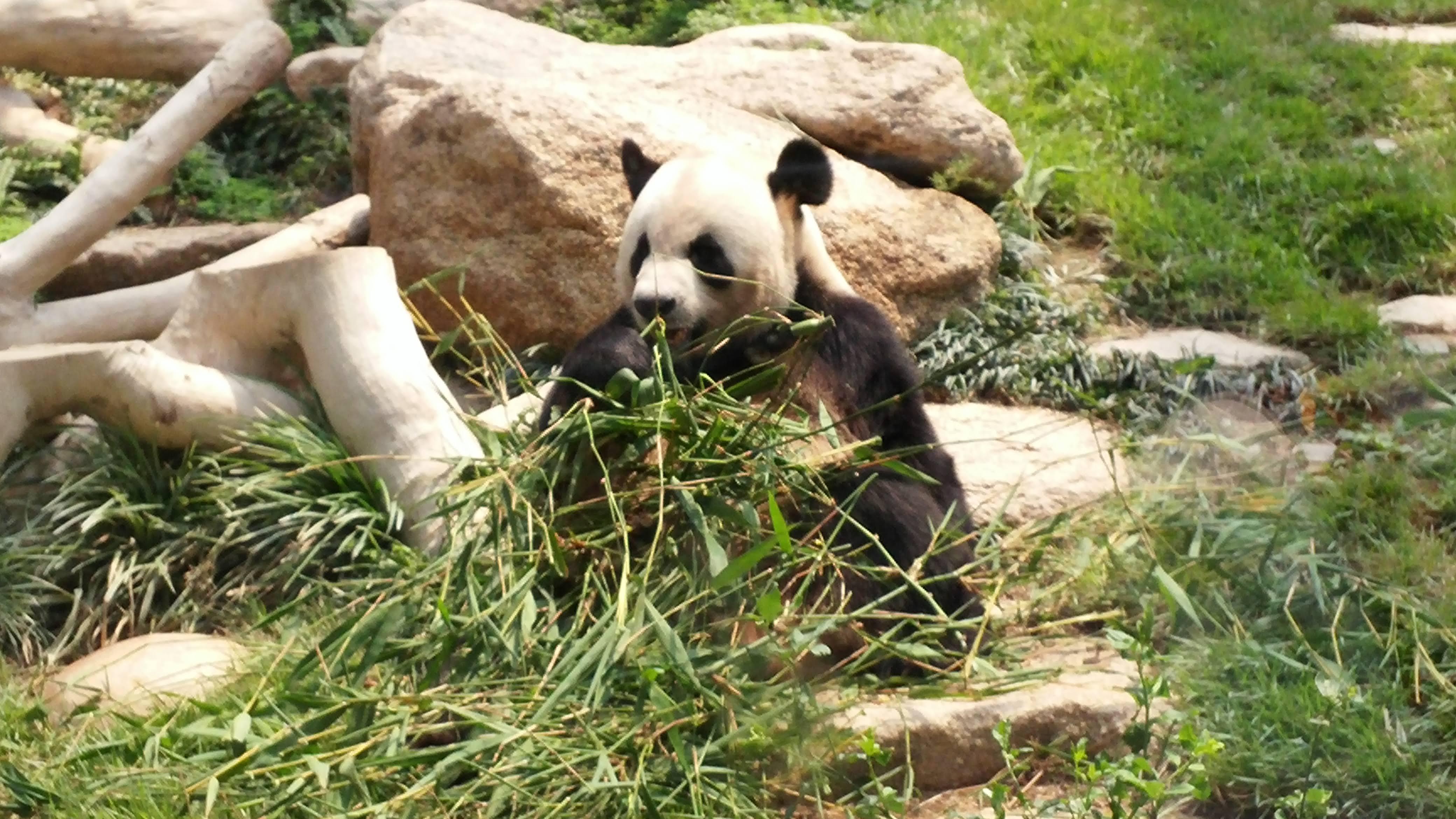 Macau Panda eating bamboo in the morning