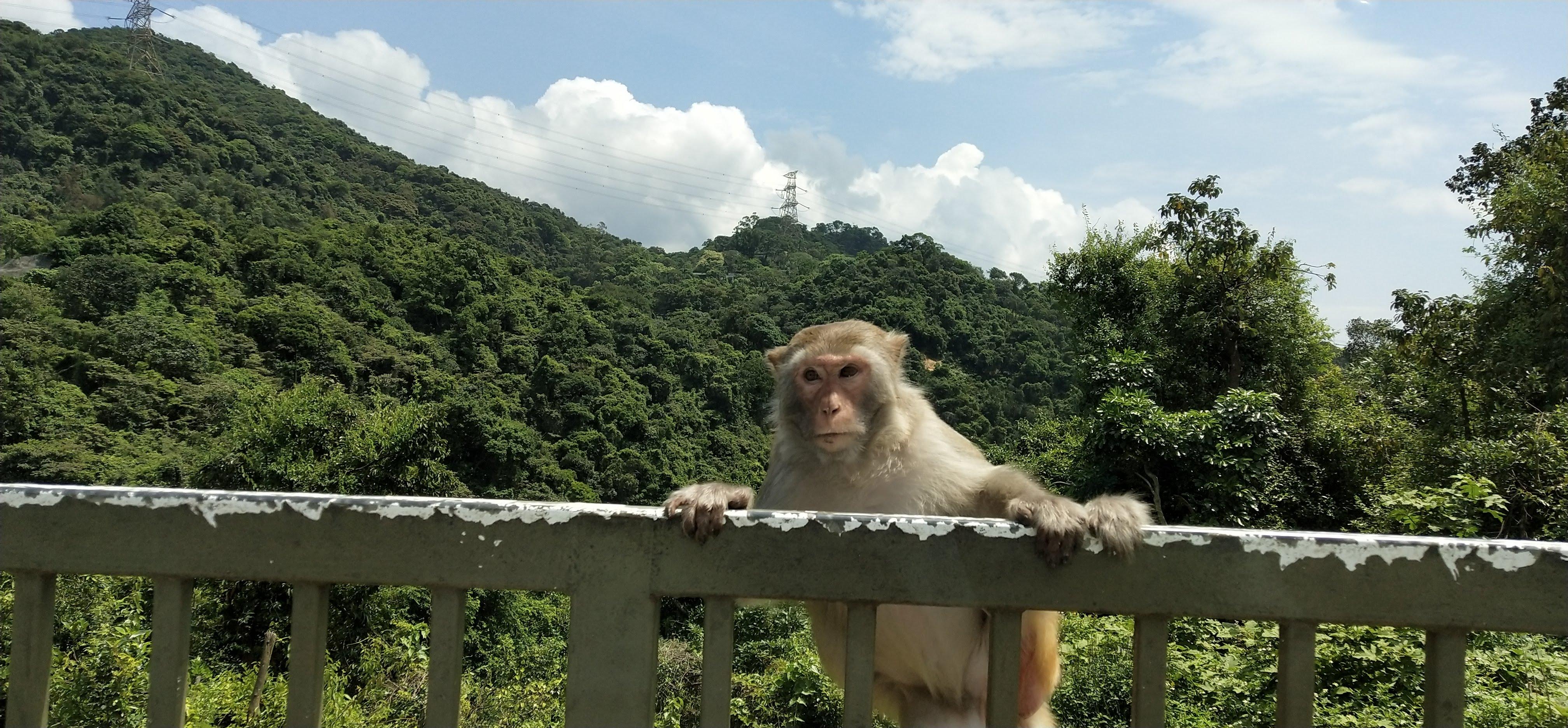Monkey climbing fence
