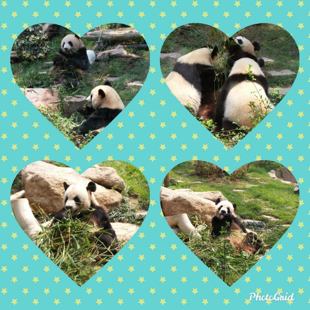 Photo collage for Macau pandas