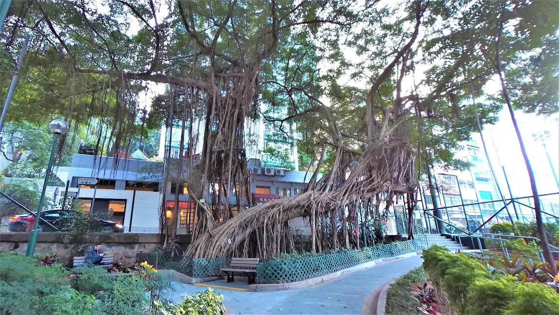 Old Chinese Banyan Tree in Blake Garden