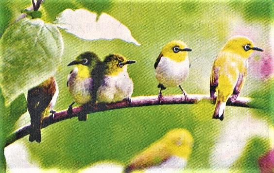 Japanese White Eyes Birds flocking on a tree