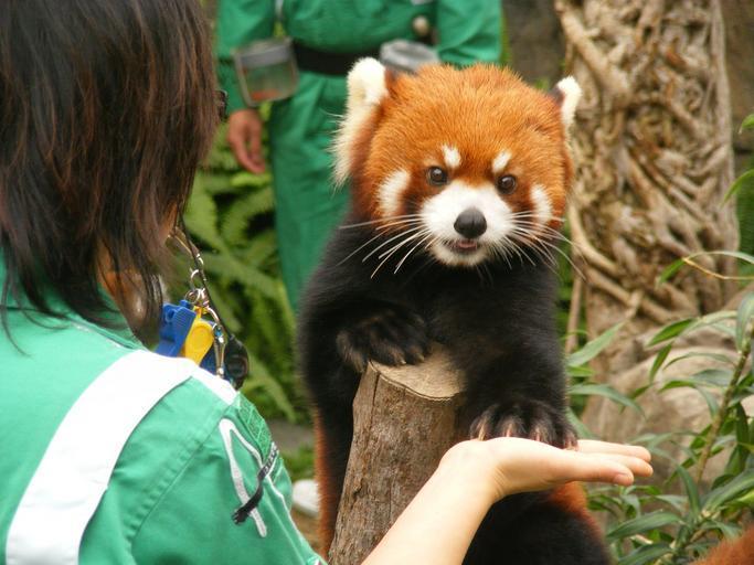 Red Panda in Ocean Park