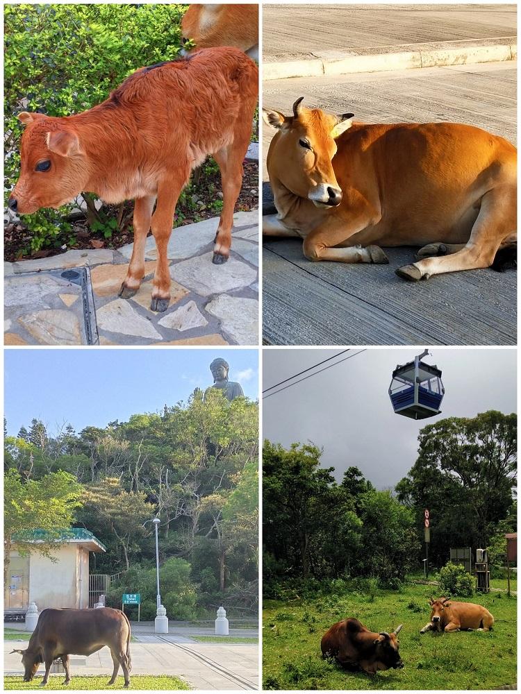 Cows at Ngong Ping