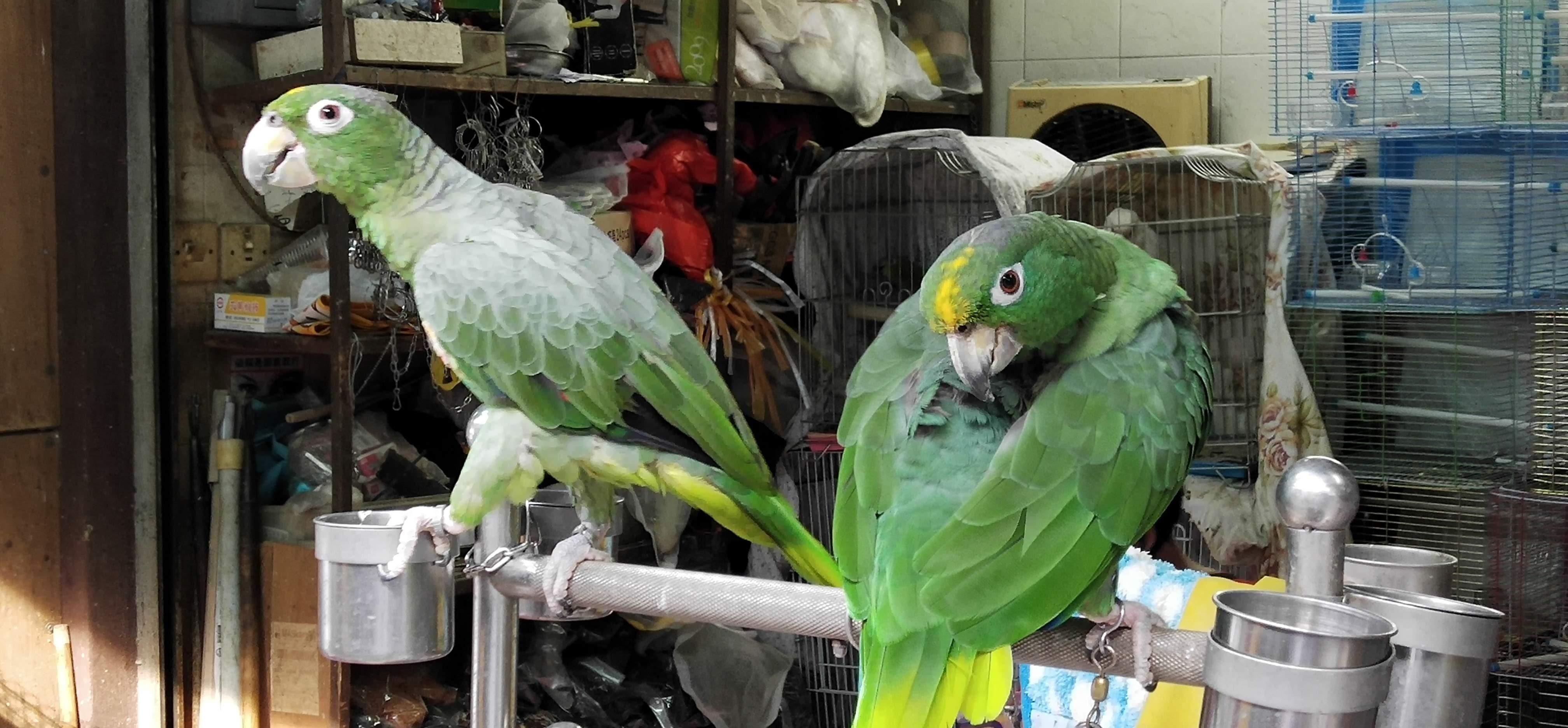 Parrots in Bird Market
