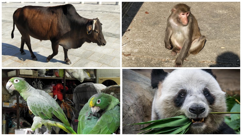 ox, monkey, parrots, panda